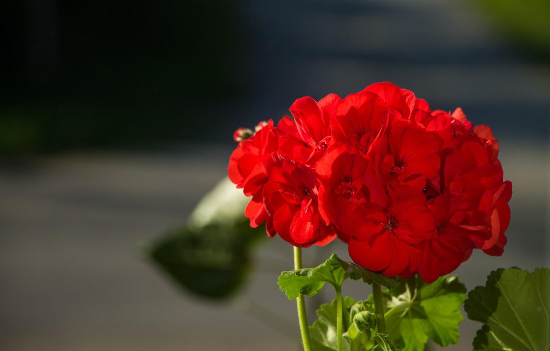 Photo wallpaper Bokeh, Bokeh, Geranium, Red flowers, Geranium