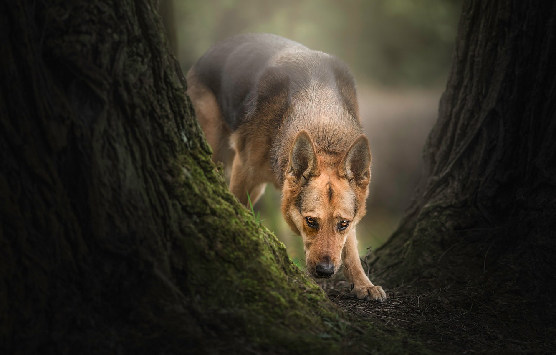 Photo wallpaper tree, dog, shepherd