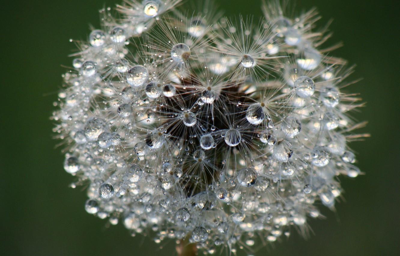 Photo wallpaper drops, macro, nature, Rosa, dandelion