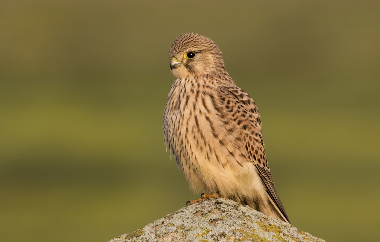 Photo wallpaper birds, stone, predator, Kestrel
