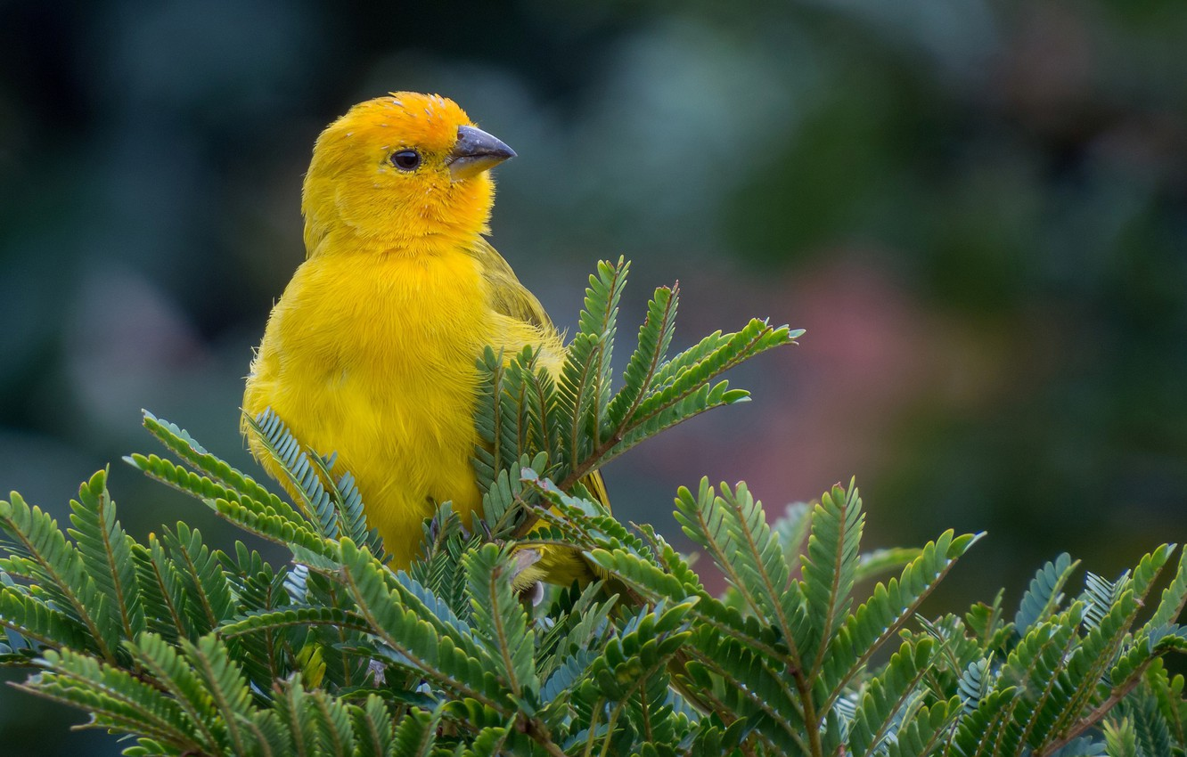 Photo wallpaper branches, nature, bird, spruce, yellow