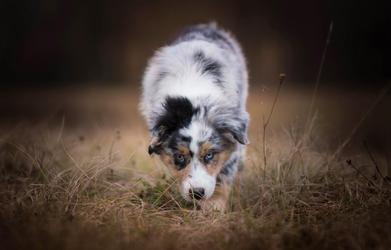 Wallpaper Autumn Forest Dog Puppy Walk Spotted Australian Shepherd Blade Aussie Images For Desktop Section Sobaki Download