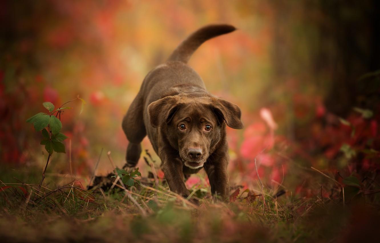 Photo wallpaper autumn, dog, puppy, bokeh, Labrador Retriever
