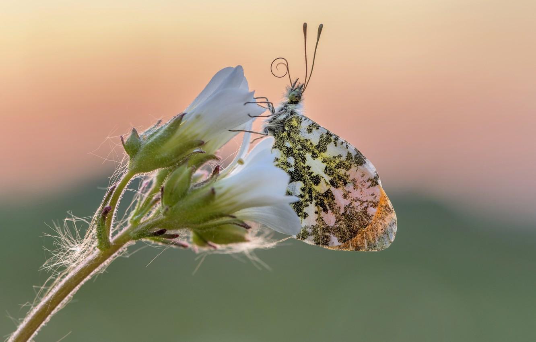 Photo wallpaper flower, butterfly, Aurora, dawn