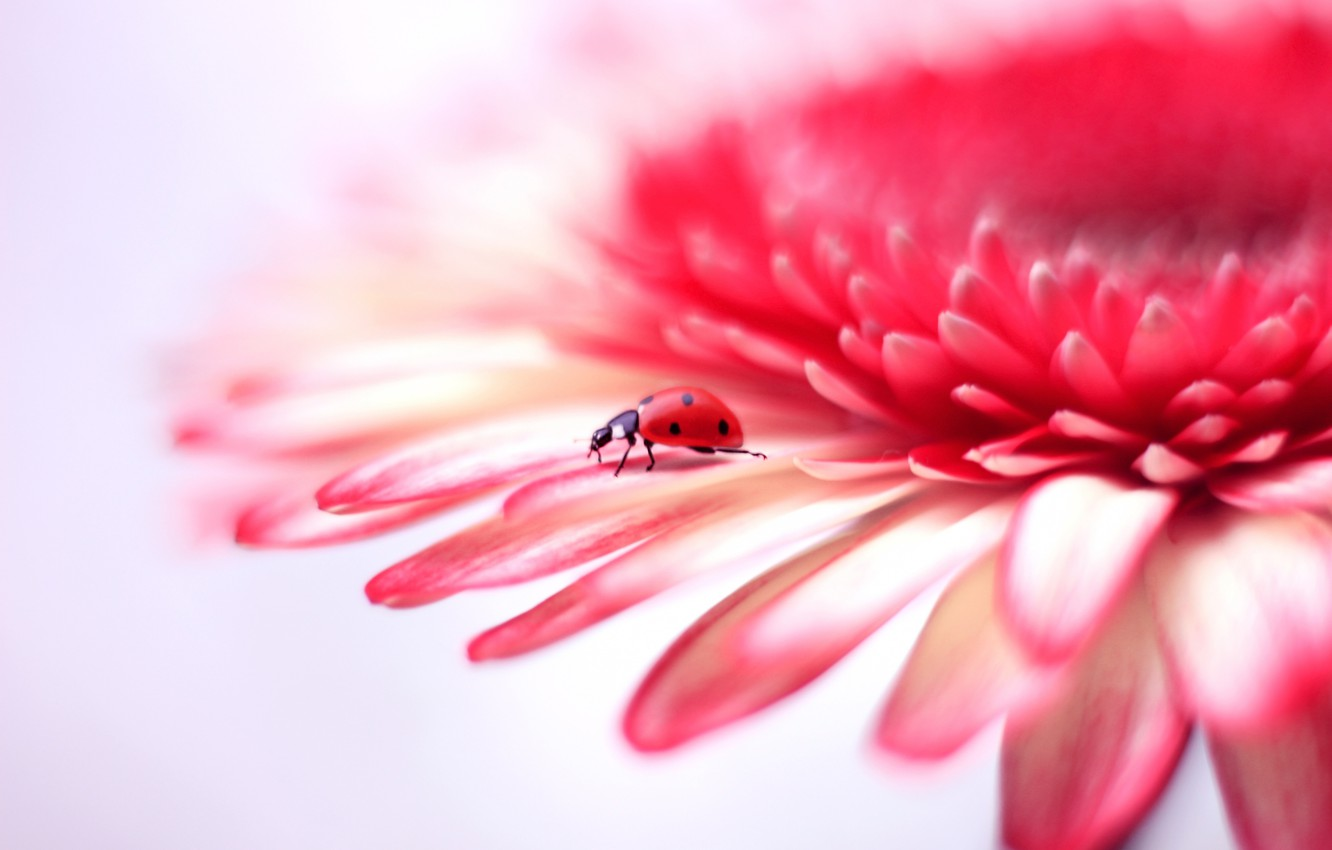 Photo wallpaper flower, background, ladybug