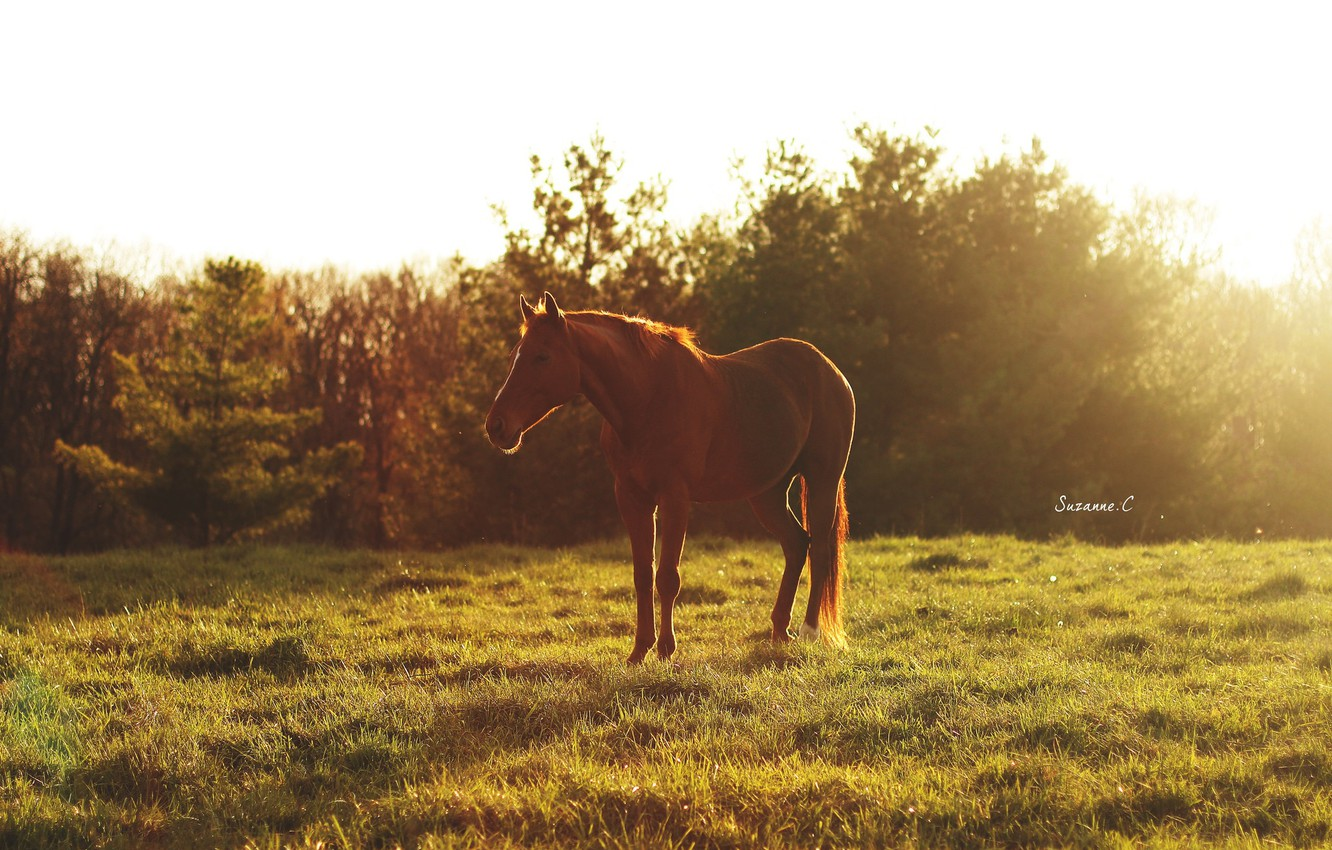 Photo wallpaper summer, the sun, light, glare, horse, horse, morning, pasture, meadow, red, sleep