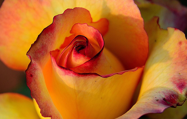 Photo wallpaper rose, petals, Bud