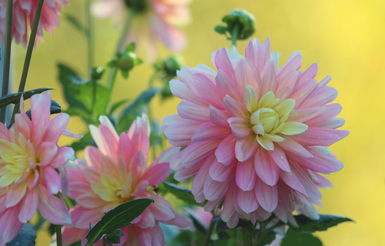 Photo wallpaper macro, petals, dahlias