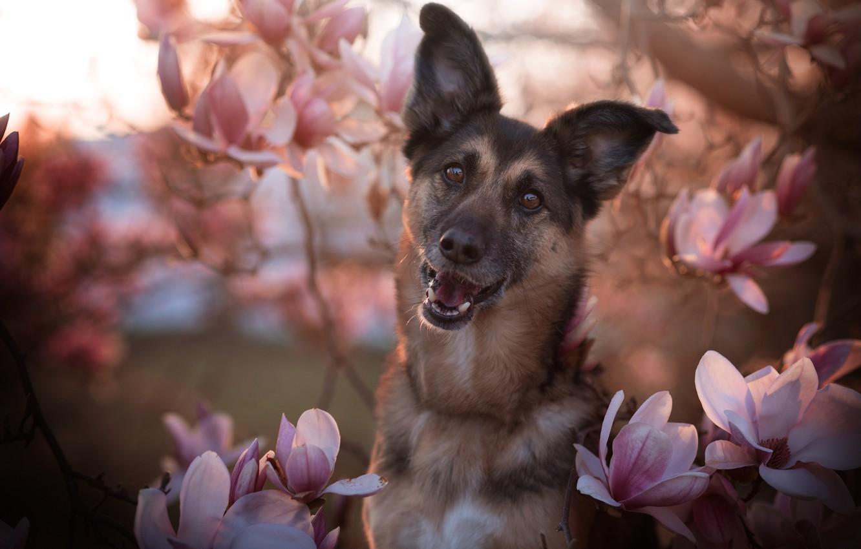 Photo wallpaper face, flowers, branches, smile, portrait, dog, spring, flowering, the expression, German shepherd, dog, shepherd, Magnolia, …