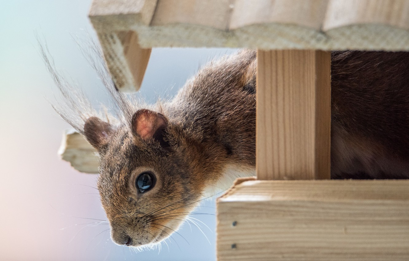 Photo wallpaper protein, muzzle, rodent, feeder