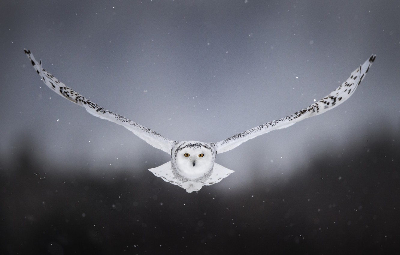 Photo wallpaper snow, background, owl, bird, wings, flight, snowy owl, white owl