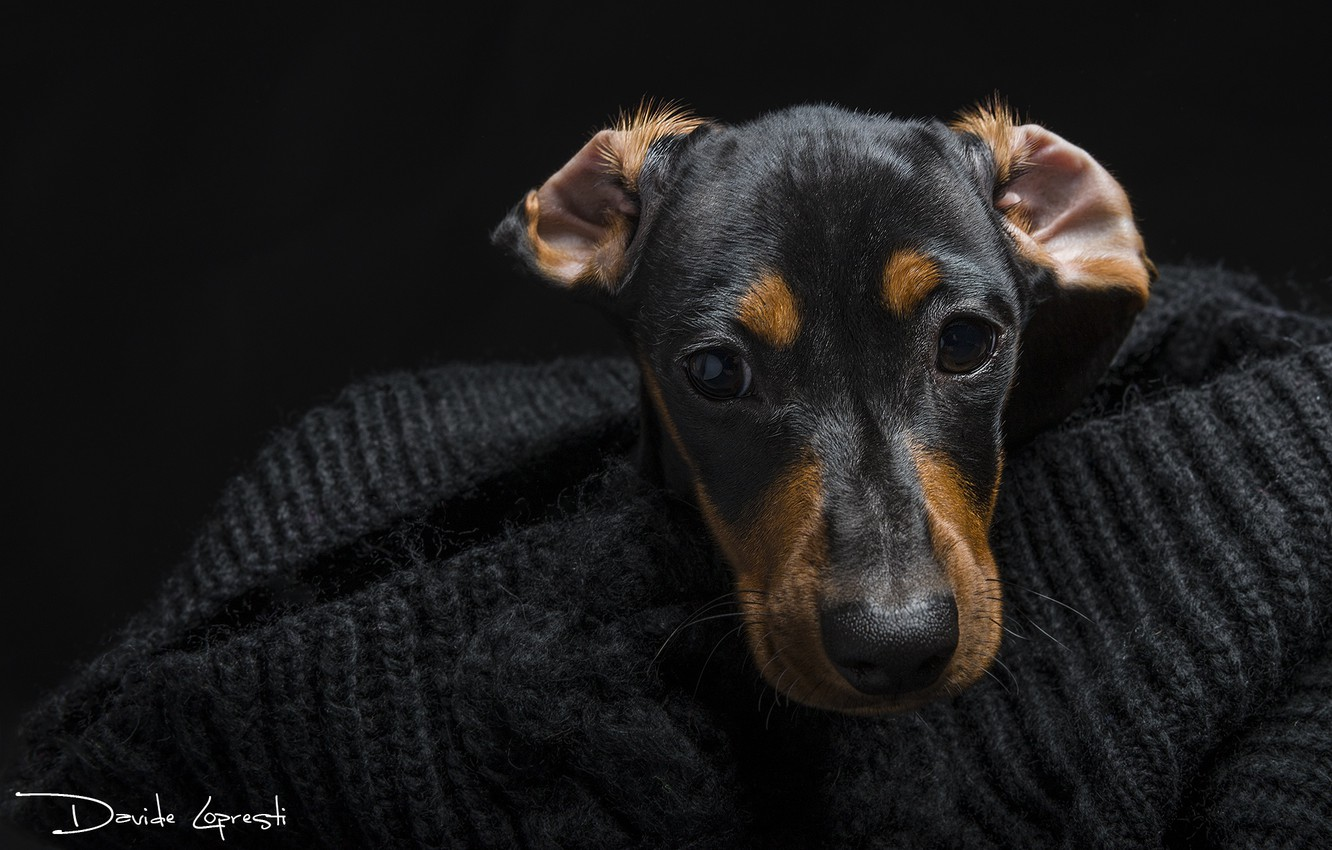 Photo wallpaper eyes, look, face, dog, Dachshund