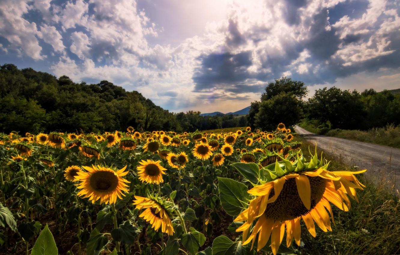 Photo wallpaper road, summer, sunflowers
