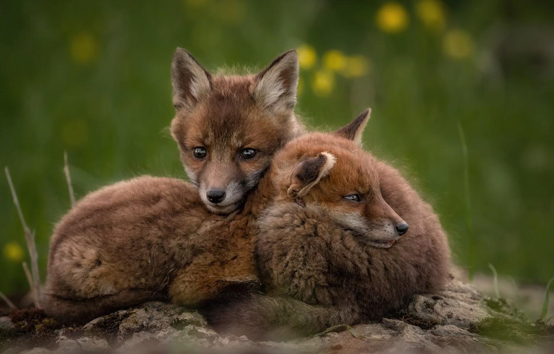 Photo wallpaper animals, nature, a couple, cubs, cubs