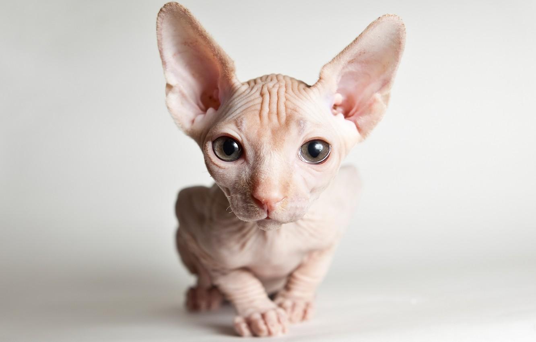 Photo wallpaper cat, eyes, look, kitty, muzzle, kitty, light background, Sphinx