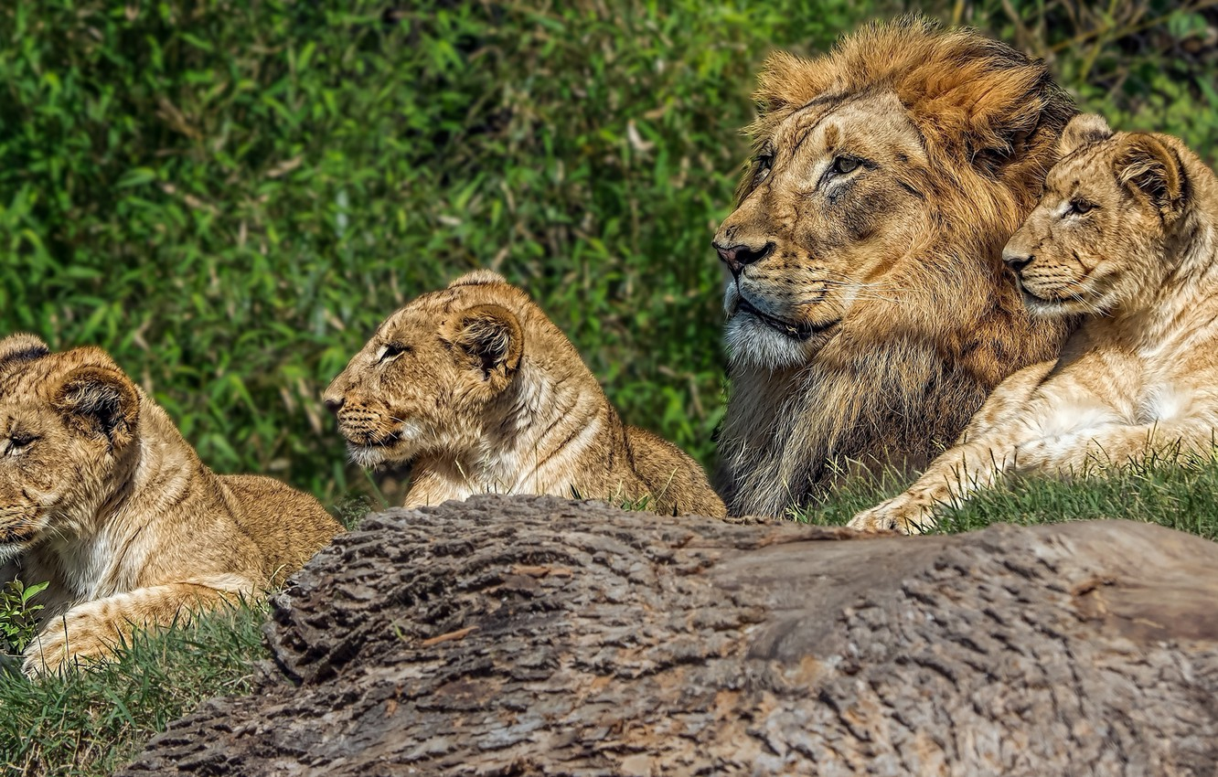 Photo wallpaper Leo, family, the cubs