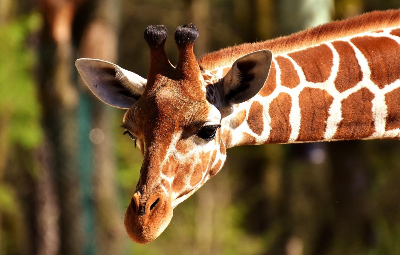 Photo wallpaper animal, head, giraffe, neck, horns