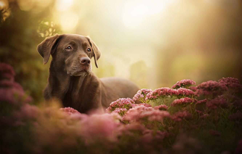 Photo wallpaper look, flowers, dog, bokeh, Labrador Retriever