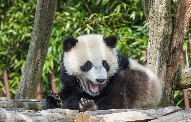 Photo wallpaper nature, stay, Panda, bear, zoo