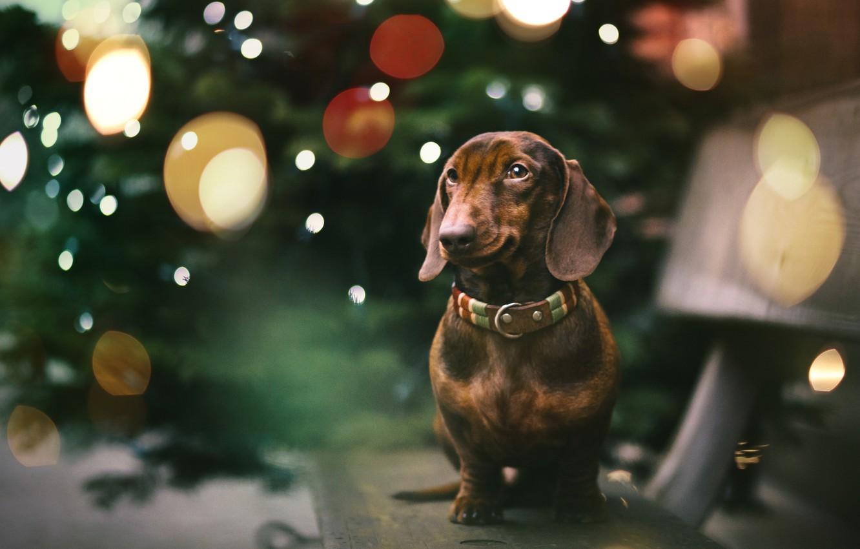 Photo wallpaper each, holiday, dog, Dachshund