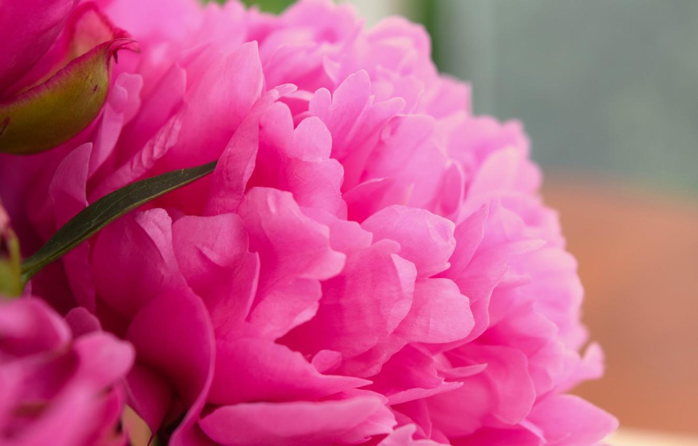 Photo wallpaper flower, pink, widescreen, peony