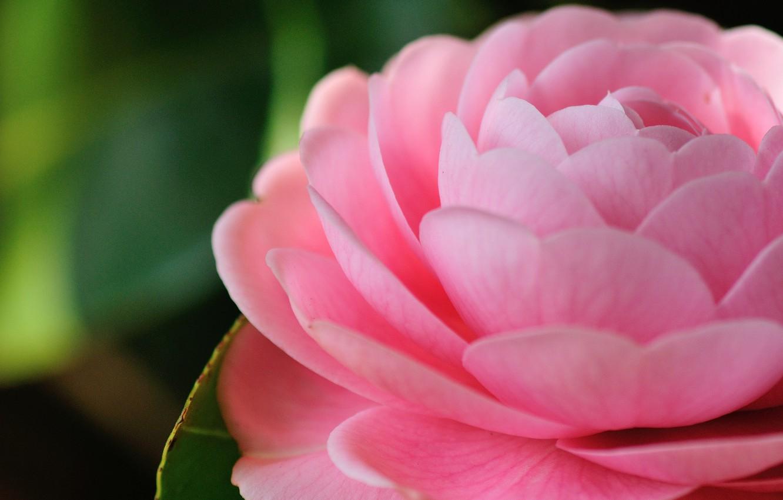 Photo wallpaper macro, pink, Camellia
