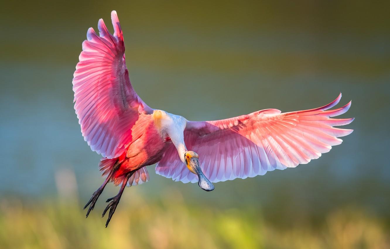 Photo wallpaper bird, wings, flight, IBIS, roseate spoonbill