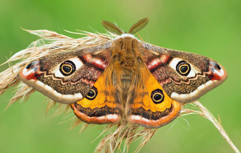 Photo wallpaper macro, background, butterfly, ear, Small Emperor moth