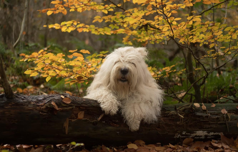 Photo wallpaper autumn, forest, dog, log, Bobtail, The old English Sheepdog