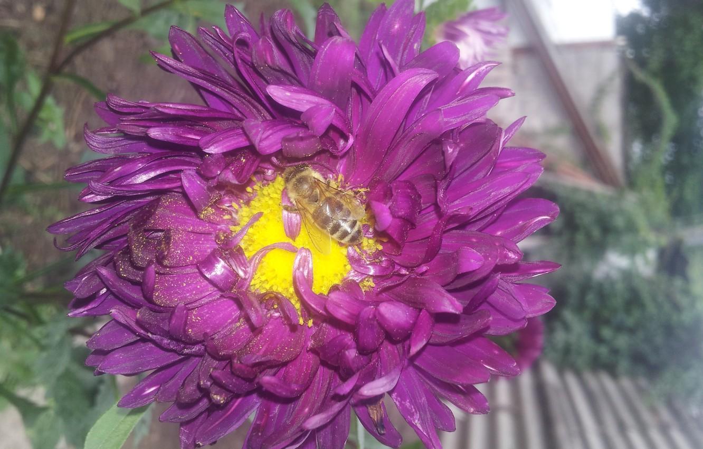 Photo wallpaper Bee, Pollen, Petals, Astra, Purple, Core