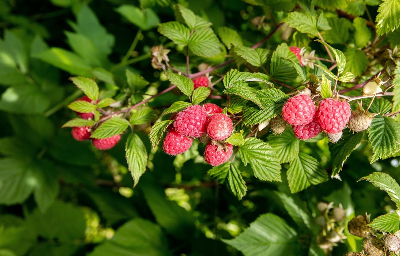 Photo wallpaper leaves, nature, berries, raspberry, Bush