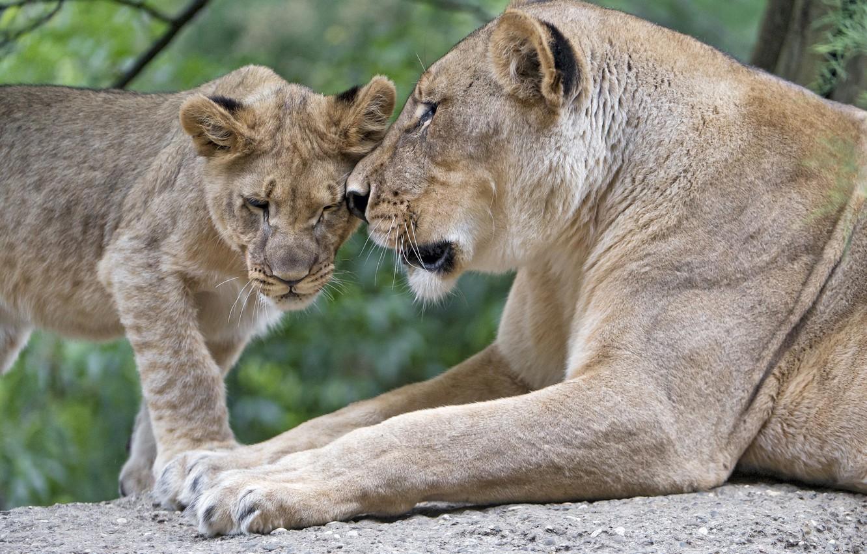 Photo wallpaper love, predators, family, pair, weasel, cub, wild cats, lions, lioness, care, lion
