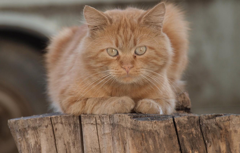 Photo wallpaper look, red cat, cat