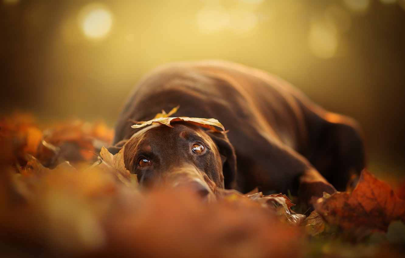 Photo wallpaper autumn, look, dog
