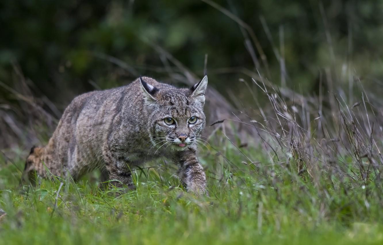 Photo wallpaper language, grass, nature, hunting, wild cat