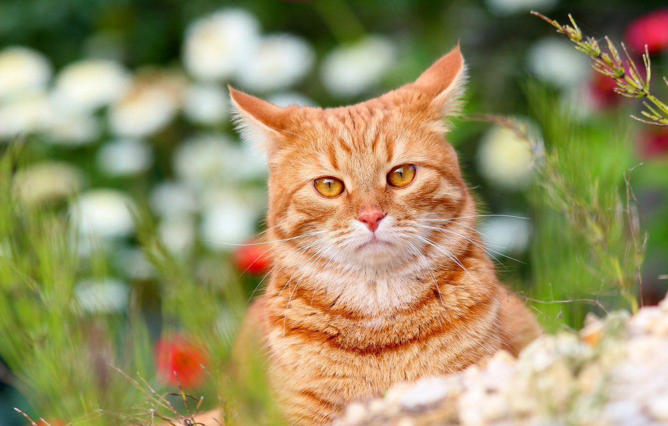 Photo wallpaper animals, summer, cat, cats, nature, cottage, Pets, red cat, Stepan, Stepan