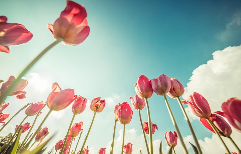 Photo wallpaper flowers, tulips, pink