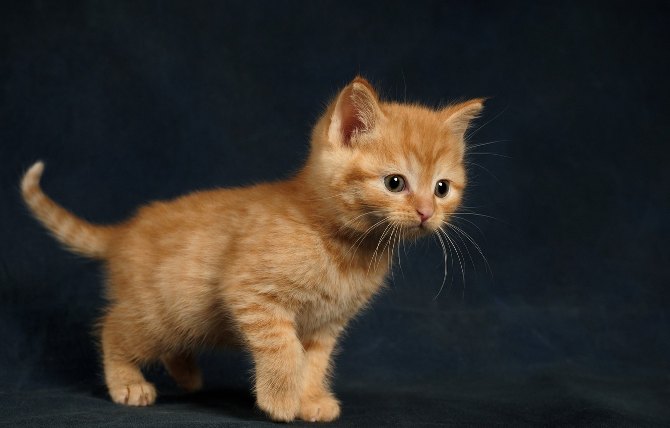 Photo wallpaper kitty, background, baby, red, ginger kitten