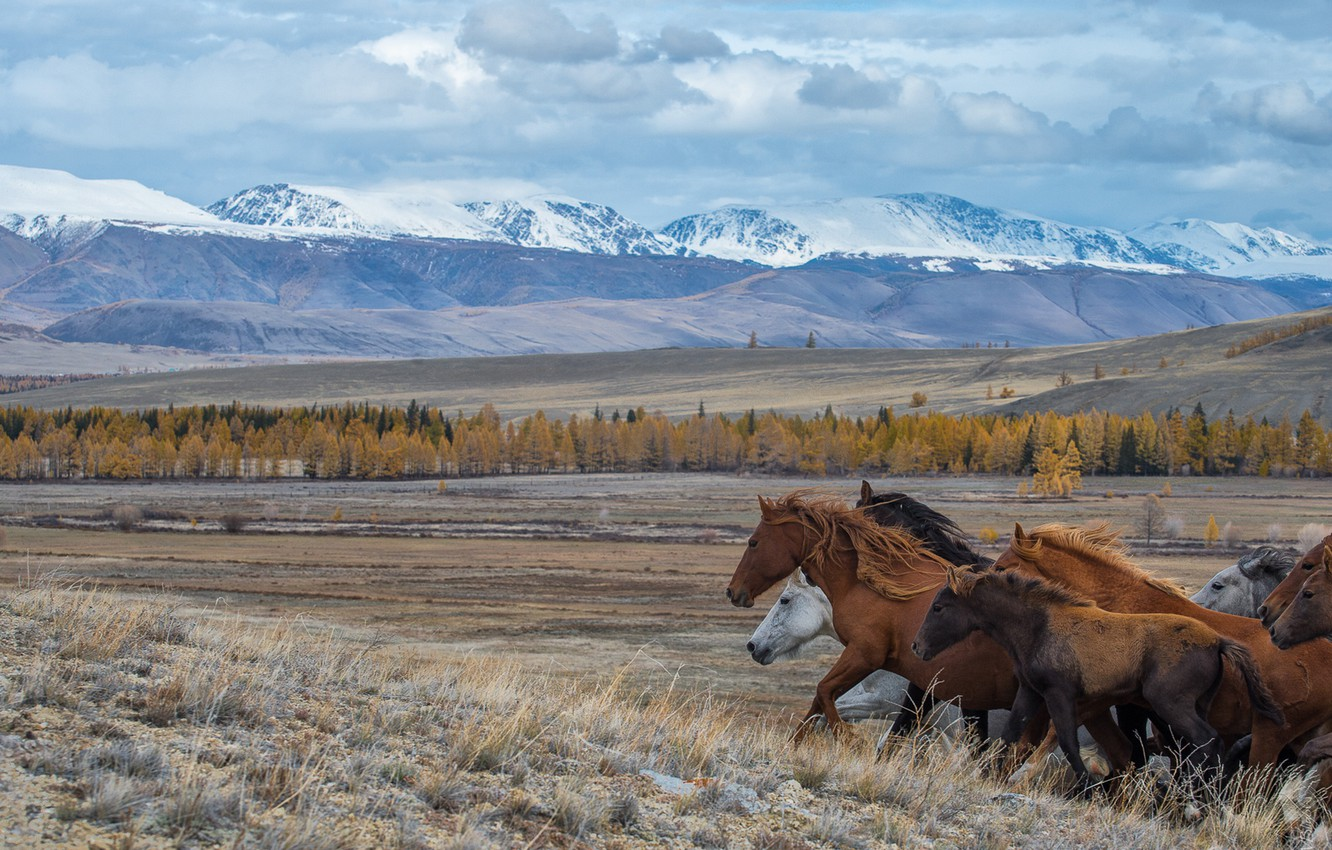Photo wallpaper the steppe, horses, running, The Altai Mountains, Altay, Kurai steppe