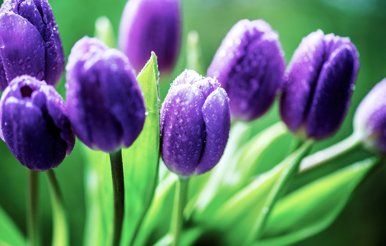 Photo wallpaper green, colors, nature, flowers, water drops, purple flowers, purple, dew, petals, Tulips