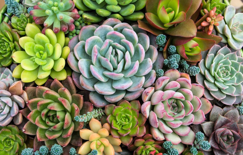 Photo wallpaper plants, nature, plant, succulent, Succulents