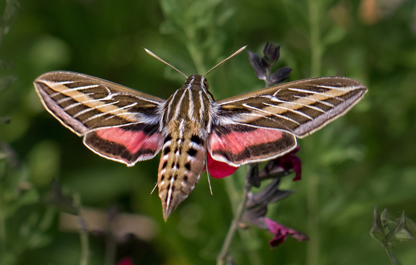 Photo wallpaper butterfly, wings, azcan common, hyles