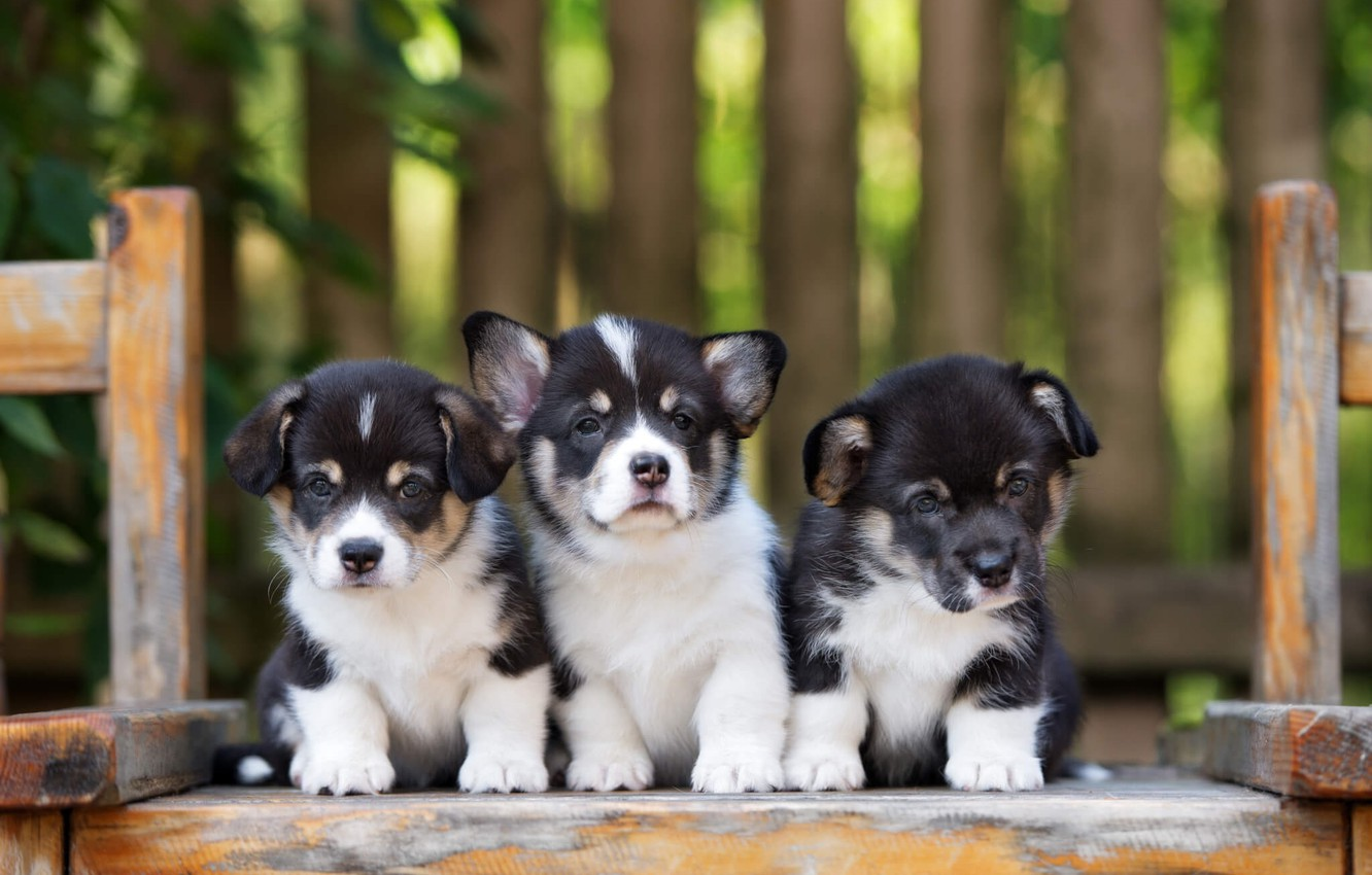 Photo wallpaper puppies, trio, Corgi