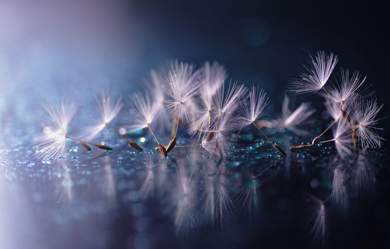 Photo wallpaper water, drops, macro, reflection, dandelion, fuzzes, the parachutes