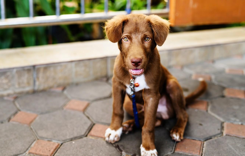 Photo wallpaper cute, puppy, light, Labrador, puppy, dog, cute