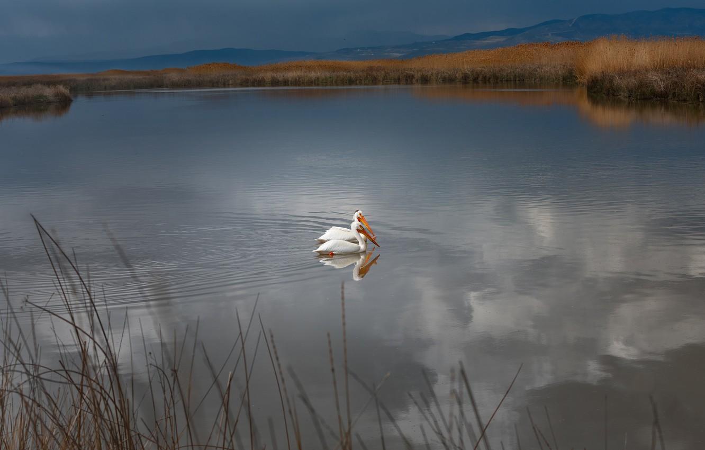 Photo wallpaper grass, water, landscape, mountains, birds, nature, lake, pond, shore, pair, pond, pelicans