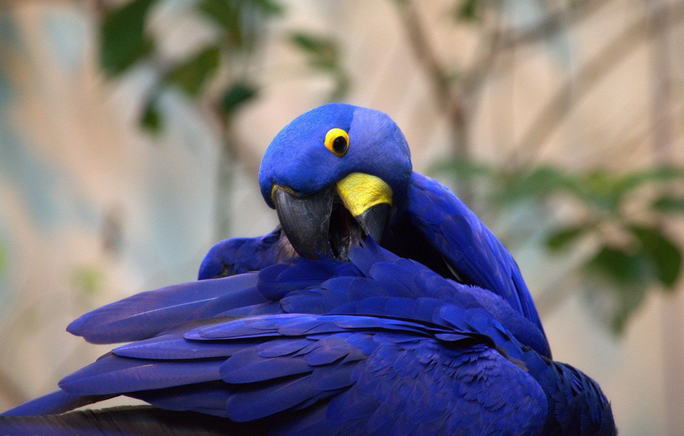 Photo wallpaper feathers, parrot, color, funny, Hyacinth macaw