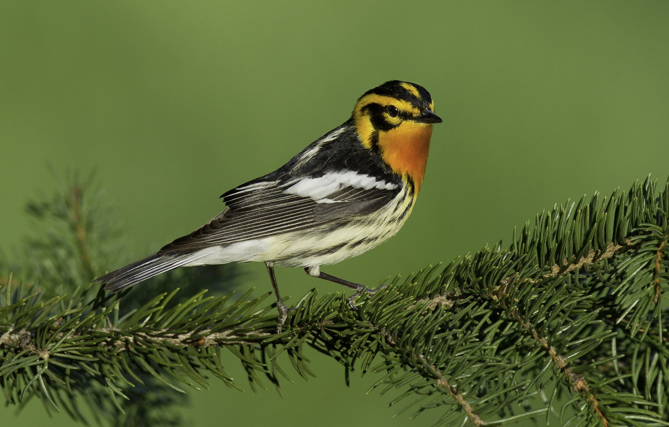 Photo wallpaper birds, spruce, branch, spruce forest songster