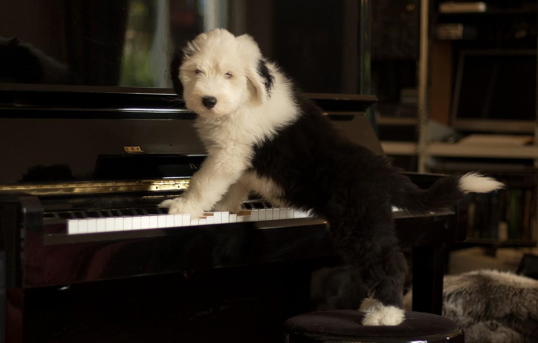 Photo wallpaper dog, puppy, piano, Bobtail, The old English Sheepdog