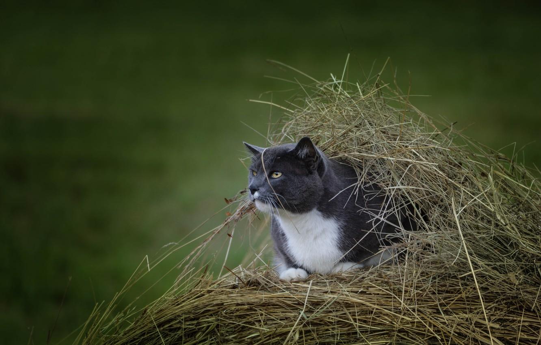 Photo wallpaper cat, shelter, hay, observation, bokeh